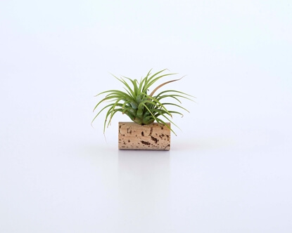 Picture of Ionantha Rubra