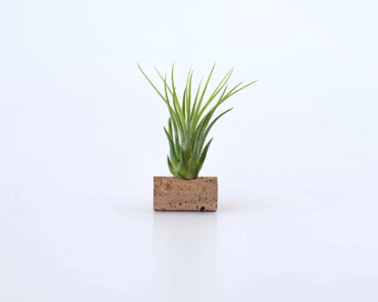 Picture of Ionantha Scaposa