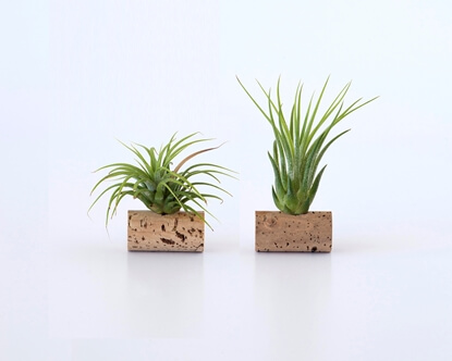 Picture of Set of 2 Air Plants