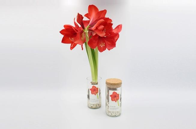 Bild von Pflanzflasche rote Amaryllis