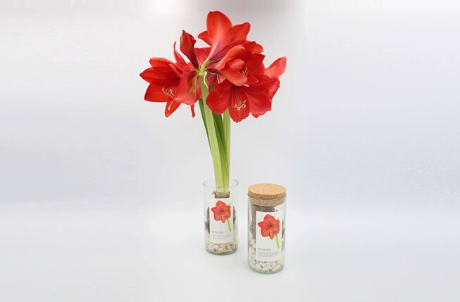 Picture of Grow Bottle Amaryllis Vermelho