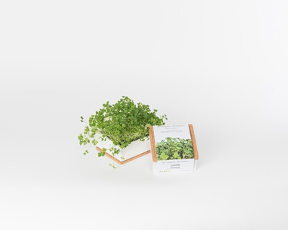 Grow microgreens of broccoli