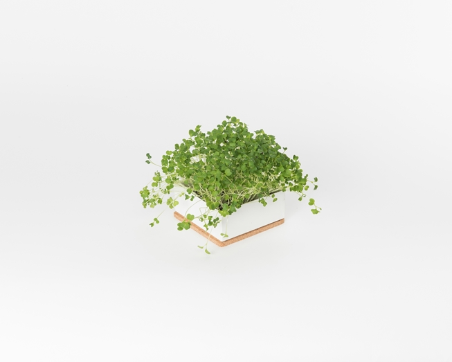 Picture of Microgreens Uno Broccoli