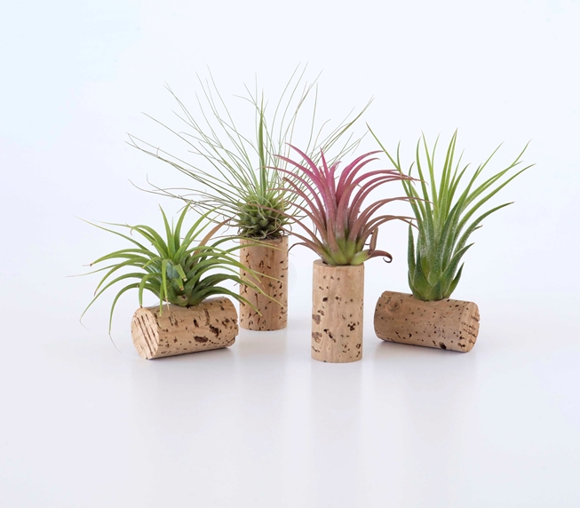 Picture of  Set of 4 air plants