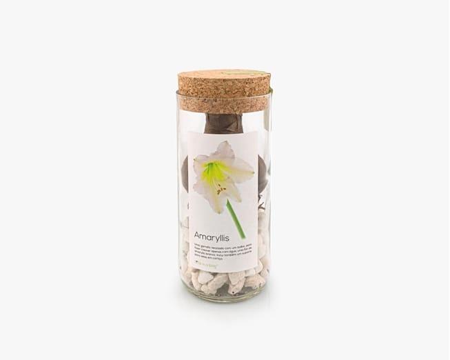Uma garrafa reciclada para fazer crescer um bolbo de amaryllis branco