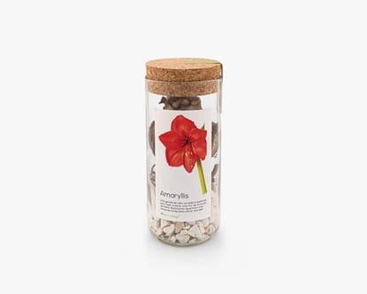 Uma garrafa reciclada para fazer crescer um bolbo de amaryllis vermelho